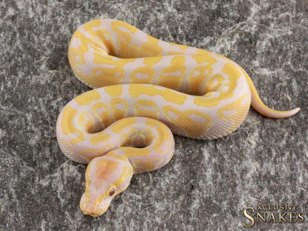 1.0 Lavender Albino het Pied 2020
