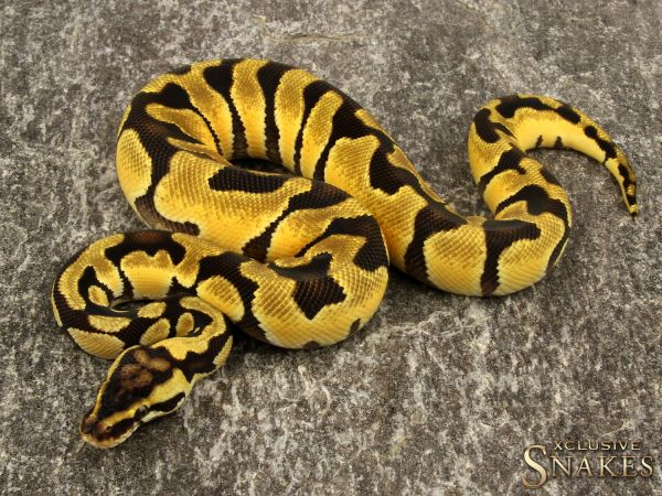 1.0 Pastel Enchi triple het Hypo Desert Clown 2019