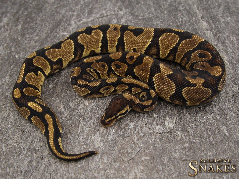 Desert Ghost Konigspythons Konigspython Zuchter Xclusive Snakes