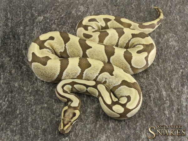 1.0 Enchi Fire Desert Ghost 2017 Ready to breed (1220g @02/2021)