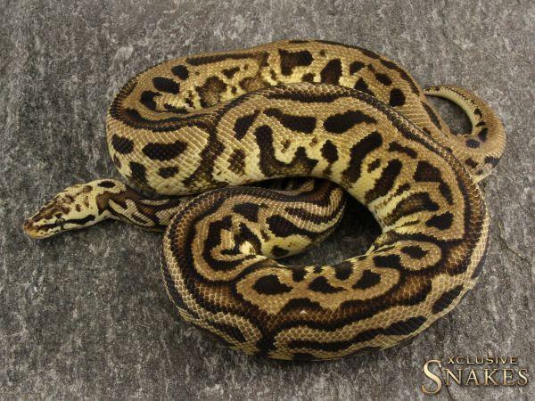 1.0 Pastel Leopard Spotnose Yellow Belly het Clown 2017 ***Proven breeder***