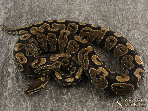 1.0 Gravel het. Ghost Hypo 2017 *Ready to breed! (1500g @02/2021)
