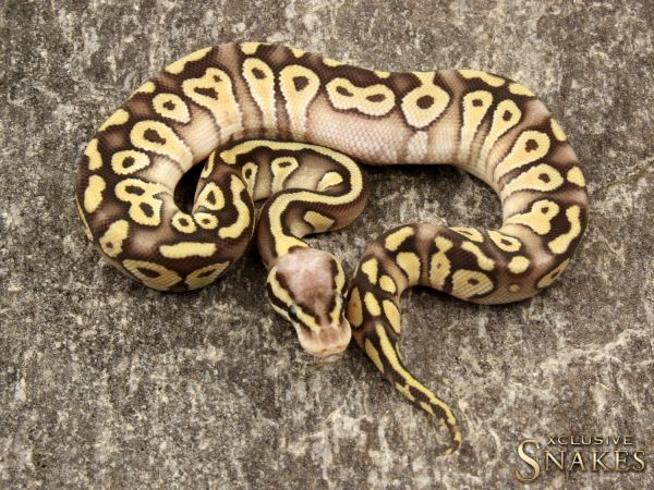 0.1 Super Pastel Mojave het Clown 2019