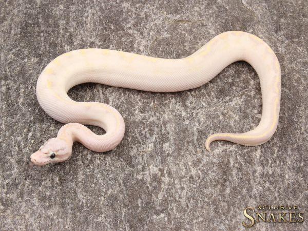 1.0 Pastel Ivory 2019