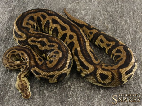 1.0 Leopard Pastel tripple het Clown Desert Ghost Cryptic 2016 (1530g @02/2021)