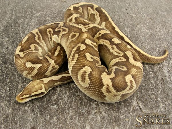 1.0 Pastel GHI Leopard Mojave het Clown 2017 *POWERHOUSE