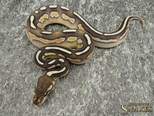 0.1 Black Pastel Butter het Desert Ghost 2018