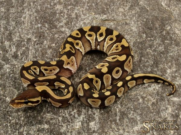 1.0 Mojave triple het Ultramel Hypo Clown 2019