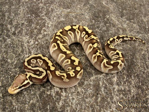 1.0 Pastel Leopard Mojave GHI 66% het Clown 2019