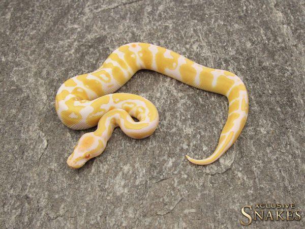 1.0 Albino 50% het Rainbow 2019