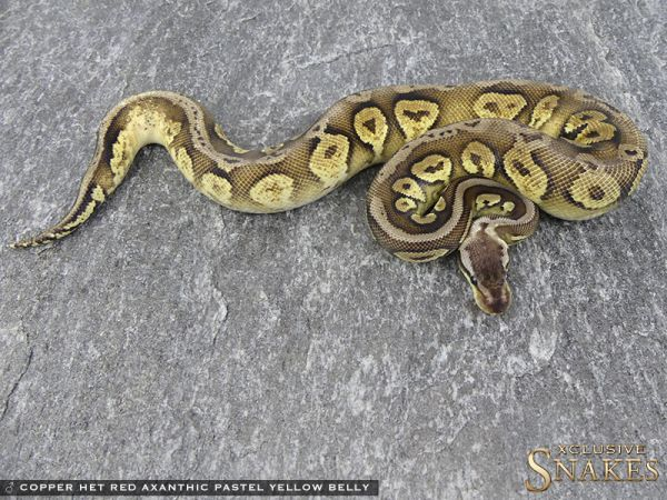 1.0 Copper Het Red Axanthic Pastel Yellow Belly 2016 - WORLD FIRST