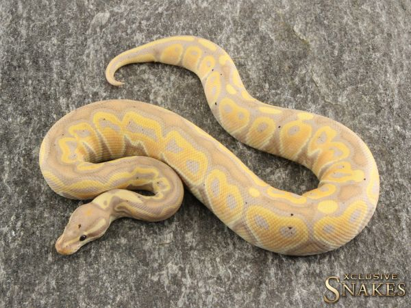 1.0 Banana Het Red Axanthic het Desert Ghost 2020
