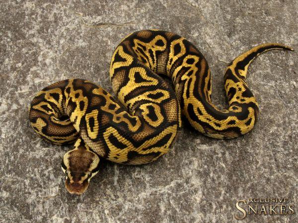 1.0 Pastel Leopard Yellow Belly het Clown 2019