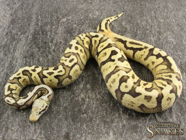 0.1 Pastel YellowBelly Spotnose GHI 2018 (1120g @01/2021)